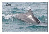 Adopt a Dolphin - Flap